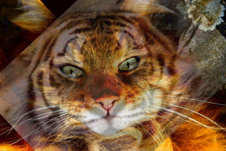 Foto aus Schmusekätzchen und Tiger übereinander geblendet